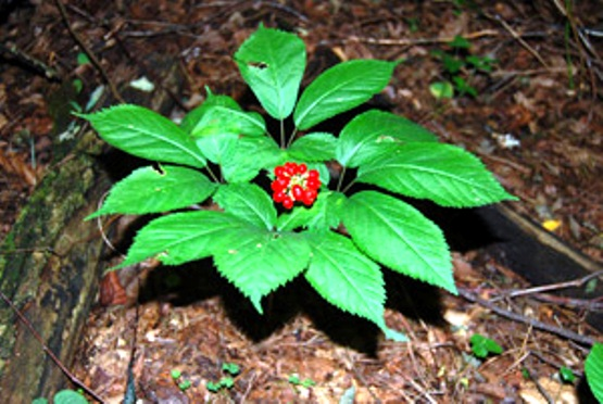 american-ginseng-with-fruit_72609