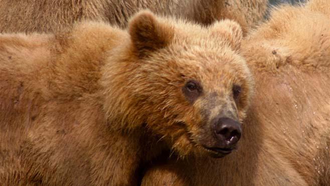 kodiak-bear-69209_1280_145829