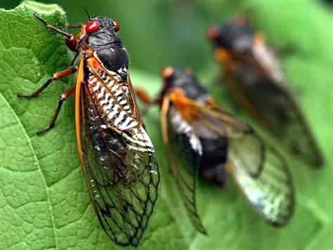 cicadas_152170