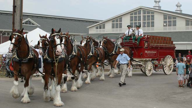 Budweiser Clydesdales_196127