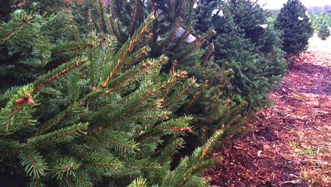 file-xmas-trees_211843