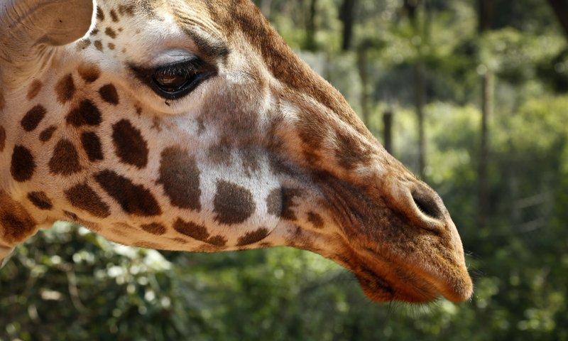 giraffe_210465