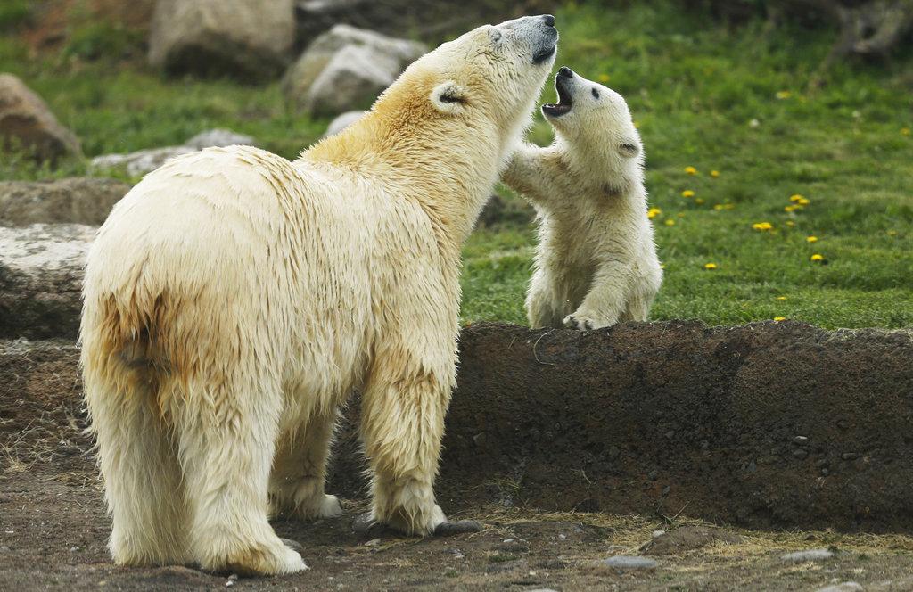 Zoo Polar Bear Cubs_244730