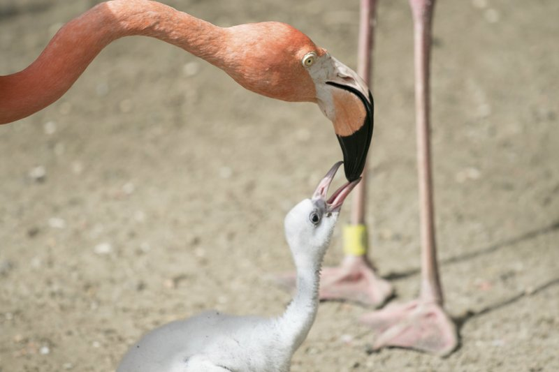 flamingo_257576