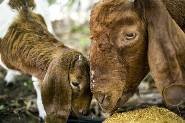 WMU hires goats to clear landscape on campus_256533