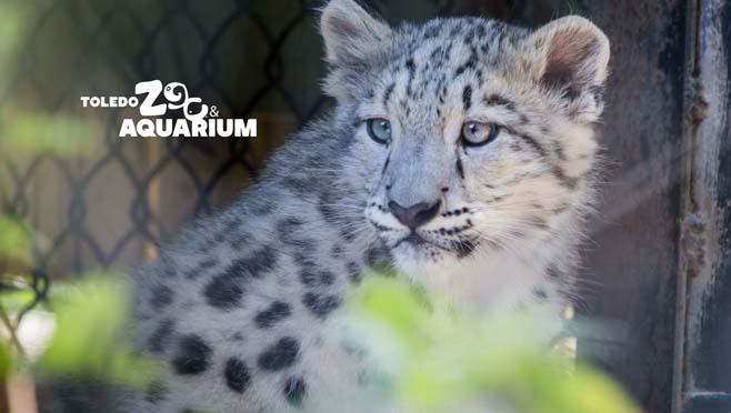 10-3 Dariga Snow Leopard_272149