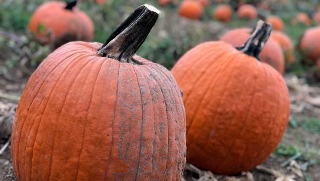 pumpkins_274806