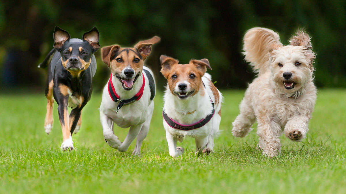 4 Little dogs running in a row._261890