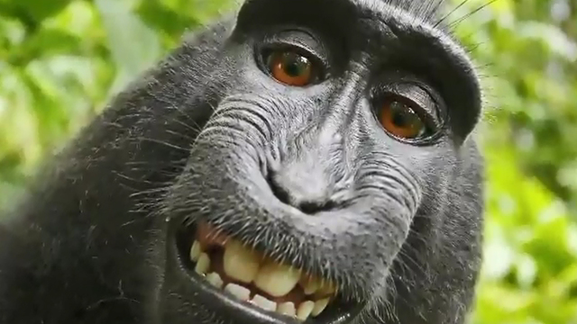 Monkey_doesn_t_have_rights_to_famous_sel_0_40549605_ver1.0_640_360_1524572295012.jpg
