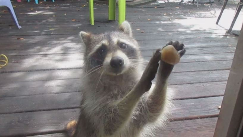 Polite raccoon_270586