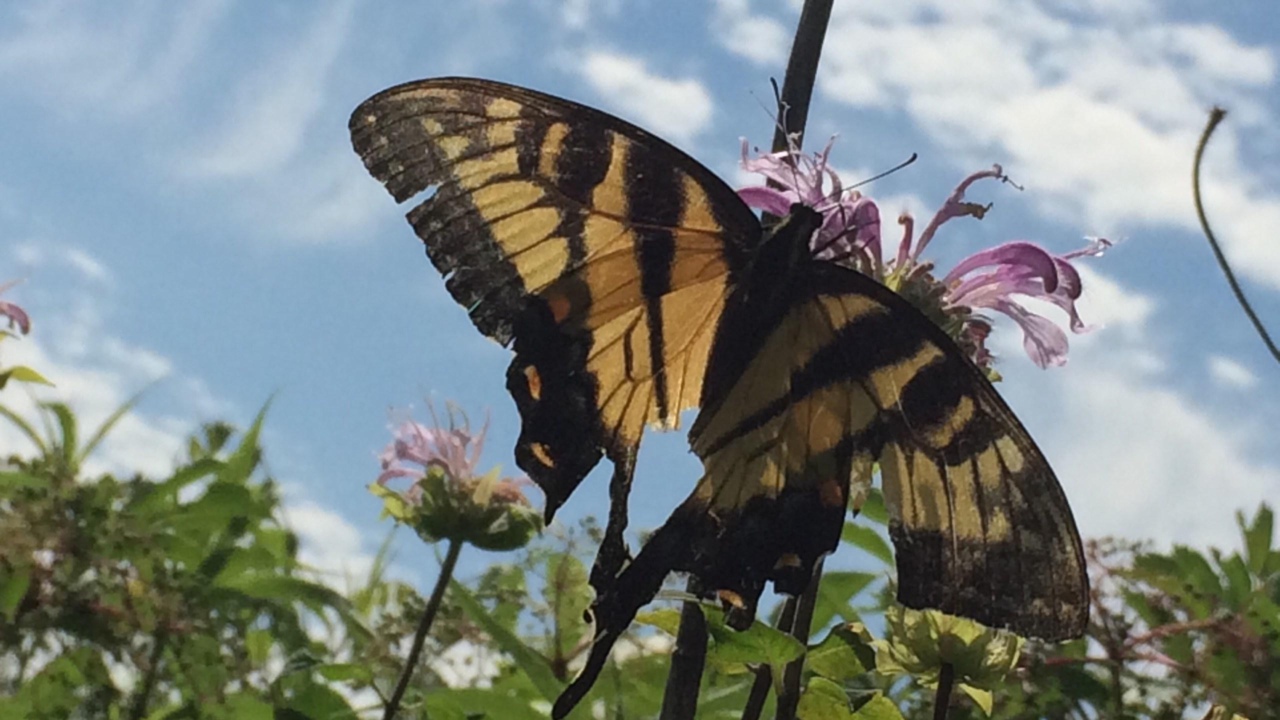 Butterfly Centerville Washington Twp_1526481015068.jpg.jpg