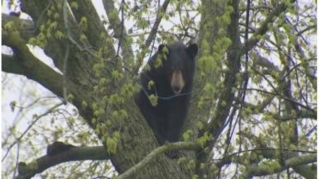 black bear Grand Rapids 050318_1525356462558.jpg_41534411_ver1.0_640_360_1525359058385.jpg.jpg