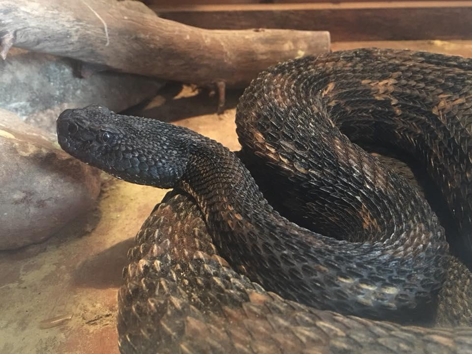 rattle snake 1_1535457850450.jpg-794306118.jpg