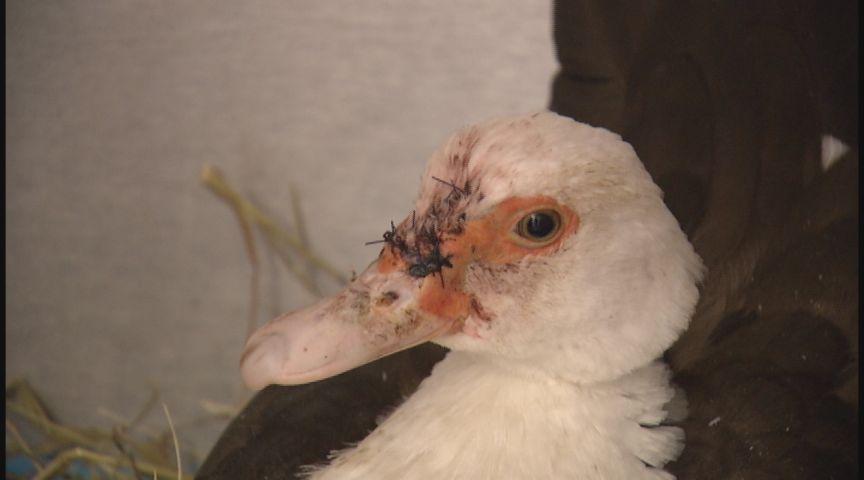 duck surgery_1547778526426.jpg-873735621.jpg