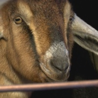 Vermont town elects goat as mayor