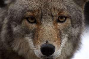 4-10-19 coyote stock photo