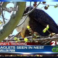 Eaglets_seen_in_nest_at_Carillon_Park_7_20190423025133