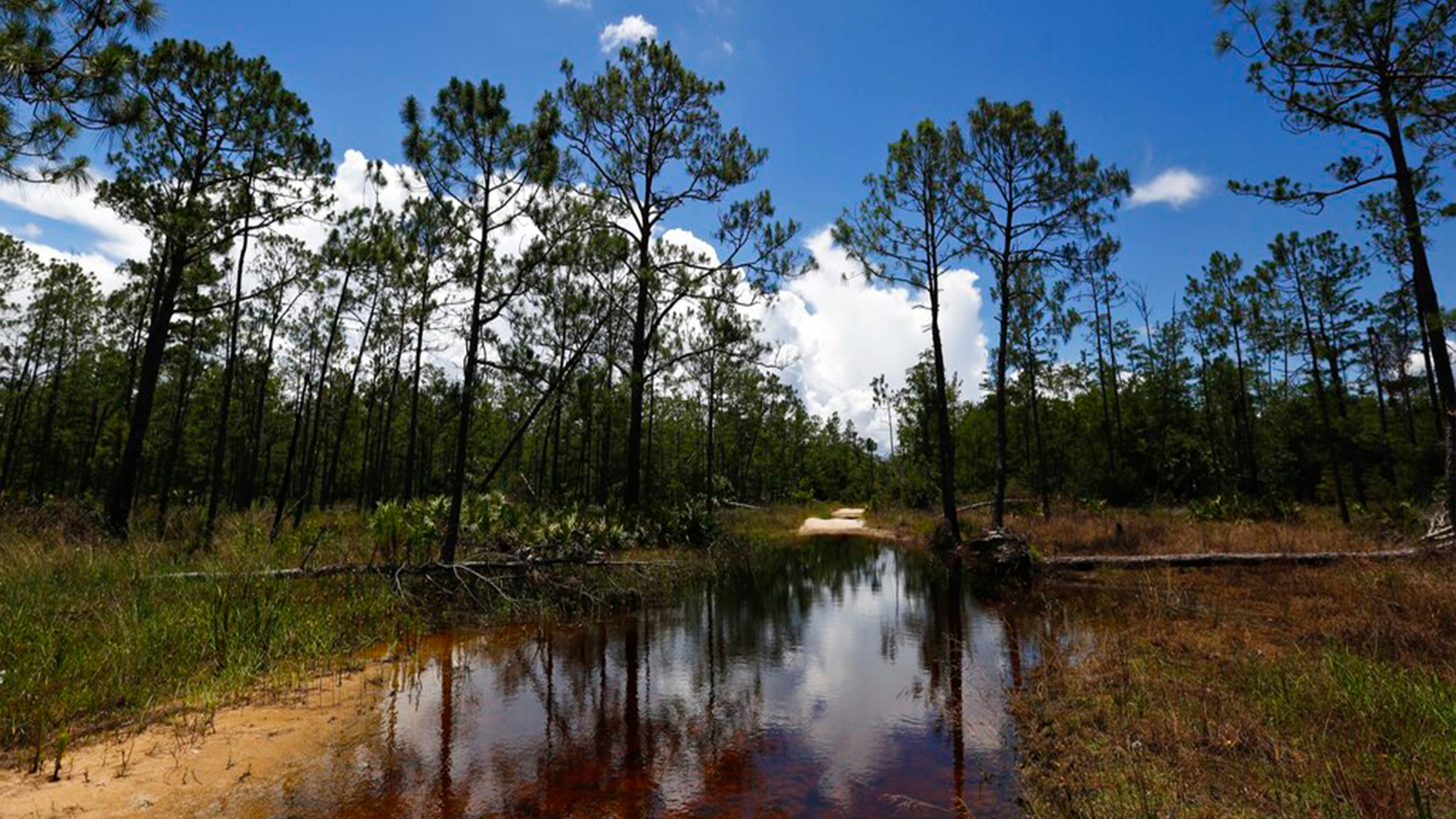 FILE - In this June 7, 2018, file photo, a puddle blocks a path that leads into the Panther Island Mitigation Bank near Naples, Fla. The Trump administration on Thursday, Sept. 12, 2019, revoked an Obama-era regulation that shielded many U.S. wetlands and streams from pollution but was opposed by developers and farmers who said it hurt economic development and infringed on property rights. (AP Photo/Brynn Anderson)