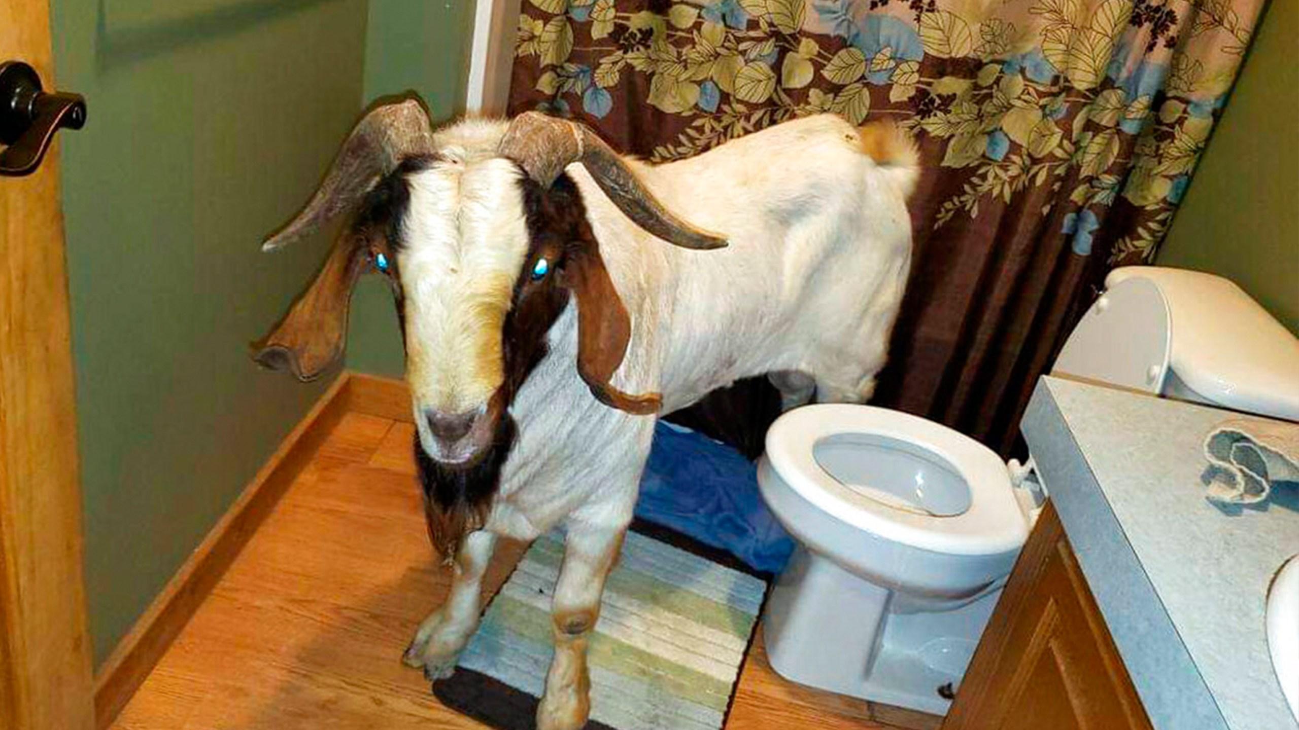 Goat rams through sliding glass door