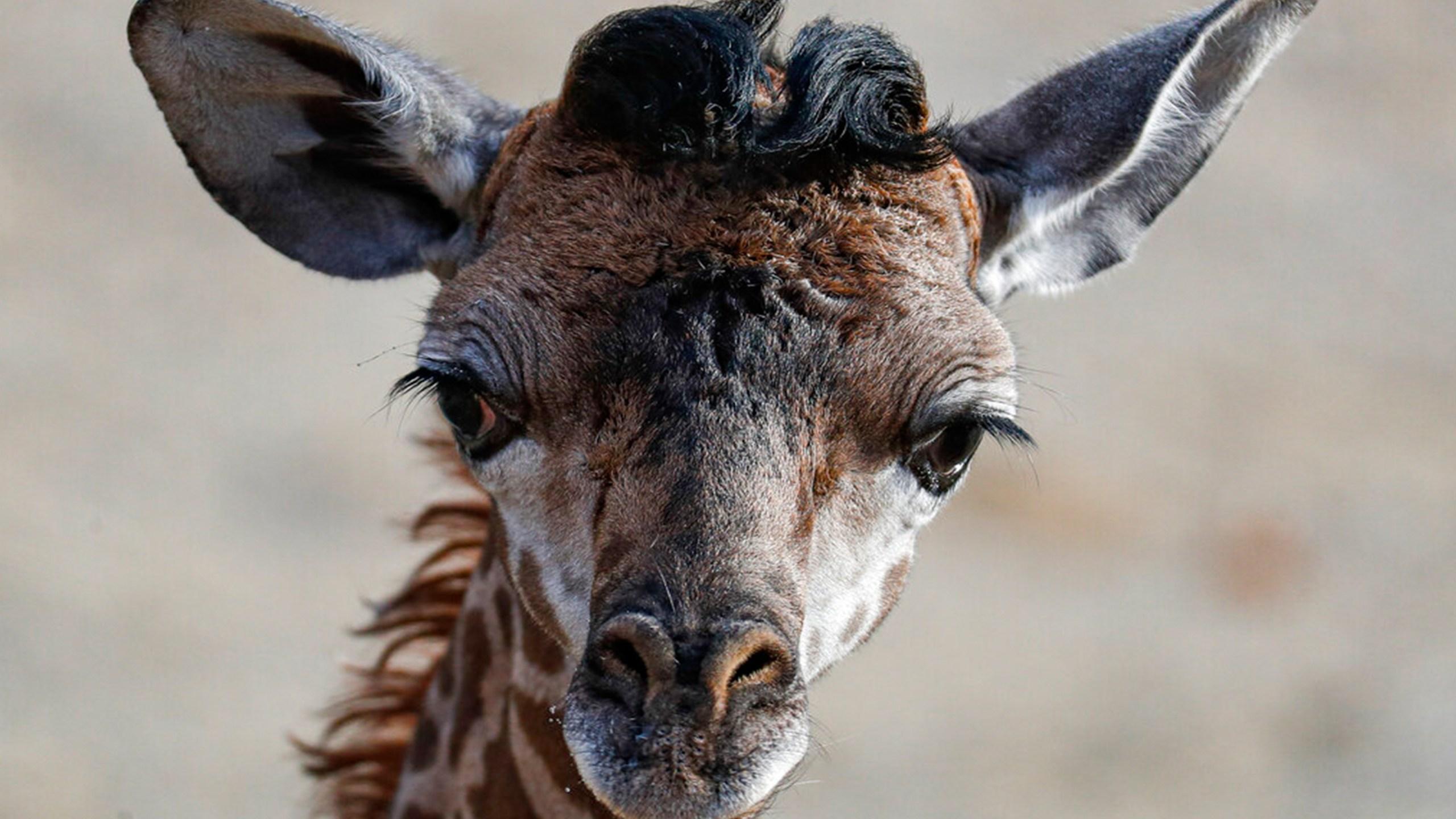 Theo the Giraffe