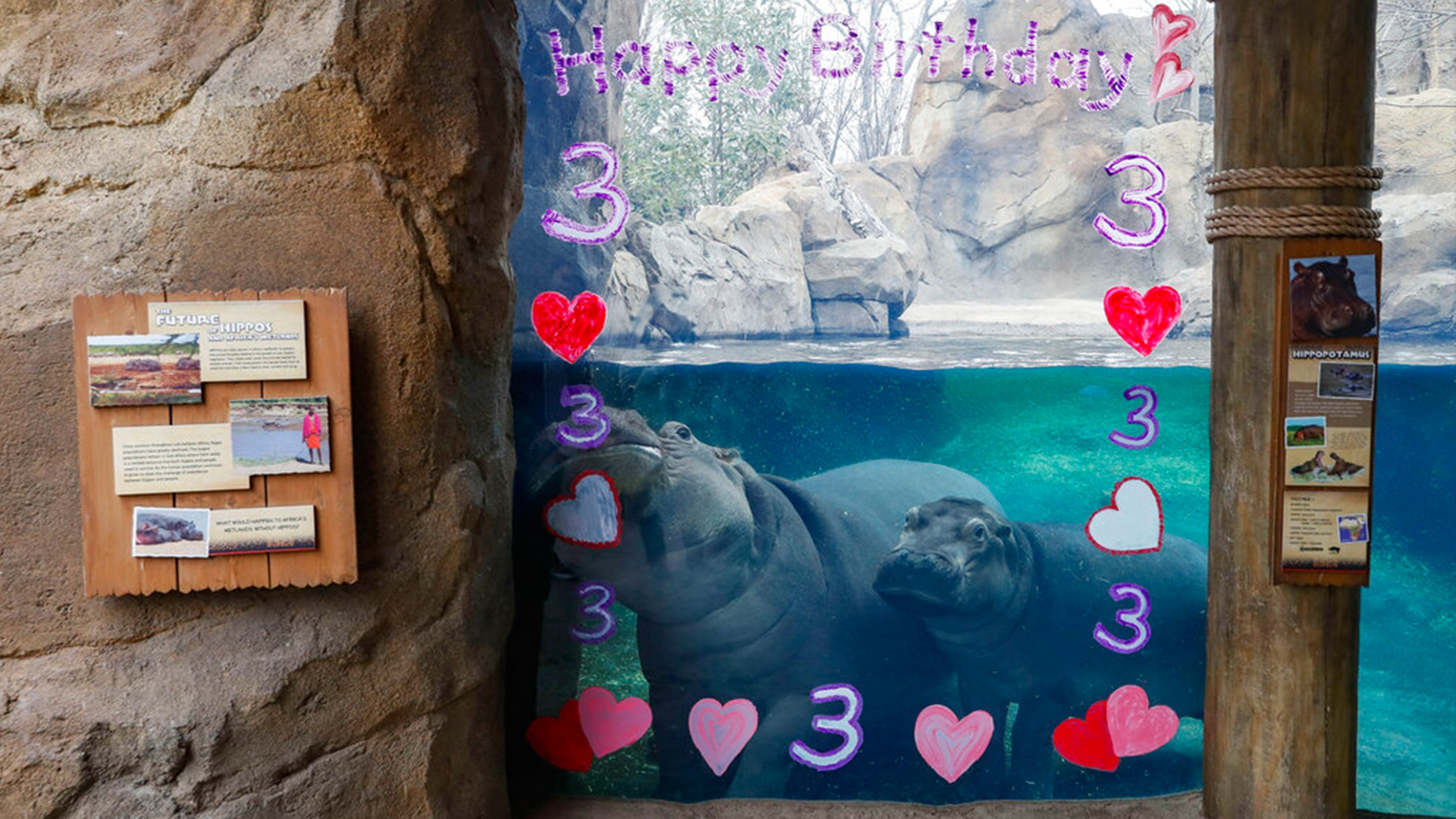 Fiona the hippo birthday