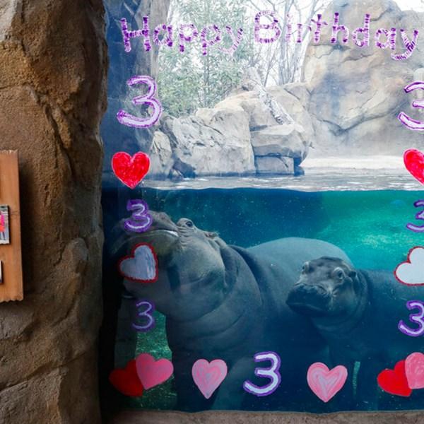 Fiona the hippo birthday