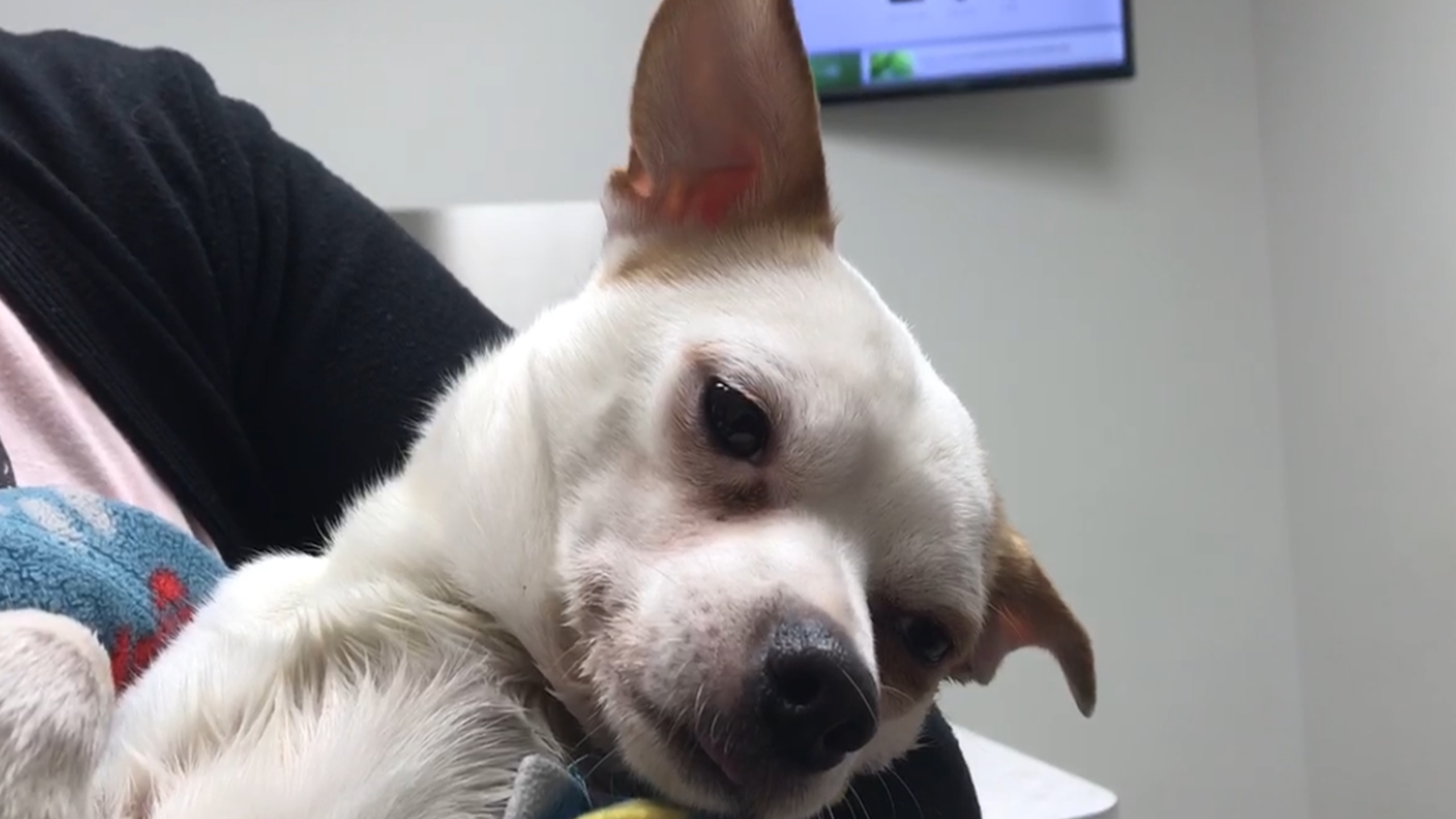 Chihuahua thrown from car