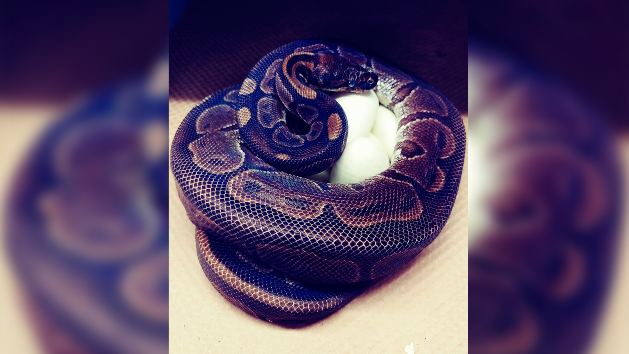 St Louis Zoo Says Python Laid 7 Eggs Without Male Help Wdtn Com