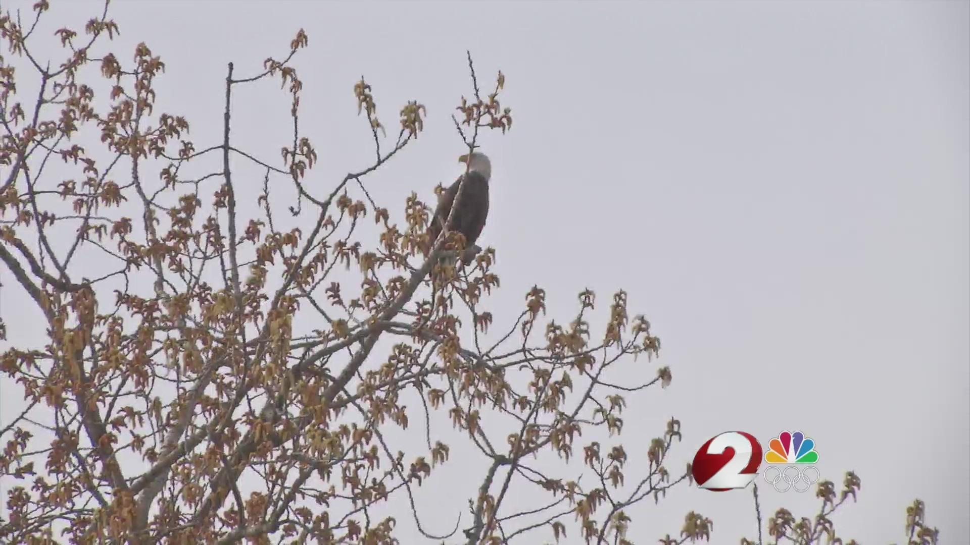 Bald Eagle at Carillon Historical Park